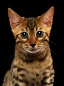 image of kitty  - Closeup Bengal Kitty Looking in Camera on Black Background - JPG