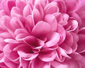 picture of chrysanthemum  - Chrysanthemum flower with pink petals in close up - JPG