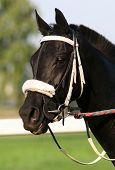 picture of black horse  - portrait of a beautiful black thoroughbred horse - JPG