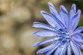 image of backround  - Cichorium intybus at brown backround close up - JPG