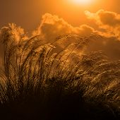 picture of pampas grass  - Tall pampas against bright summer - JPG