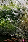 image of pampas grass  - WHITE FEATHER PAMPAS GRASS PLUMES RELAXING POND TOBAGO NATURE - JPG
