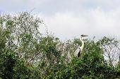 image of pampa  - Cocoi Heron - JPG