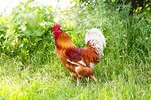 foto of roosters  - Red rooster in green grass - JPG