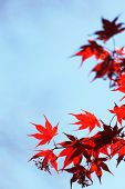 foto of canada maple leaf  - red maple leaves - JPG