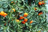 foto of tangerine-tree  - tangerines on a tree branch - JPG