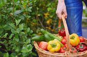 picture of farmer  - Basket with fresh vegs held by farmer - JPG