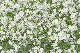 pic of lobelia  - White lobelia flowers full frame Sweden in June - JPG