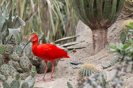 image of scarlet ibis  - Red ibis in a environment of cactus plants and sand - JPG