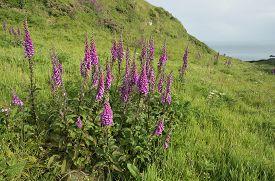 stock photo of digitalis  - Foxglove - Digitalis purpurea In Coastal Grassland Martin