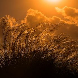 picture of pampa  - Tall pampas against bright summer - JPG