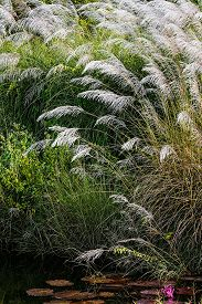 stock photo of pampa  - WHITE FEATHER PAMPAS GRASS PLUMES RELAXING POND TOBAGO NATURE - JPG