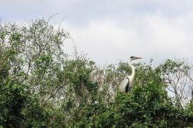 picture of pampa  - Cocoi Heron - JPG