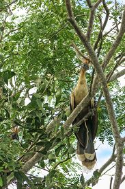 foto of pampa  - Hoatzin Bird in Madidi Park - JPG