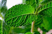 Mint Leaves Closeup