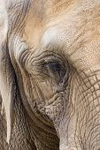 Alto como um olho de elefantes
