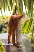 Orangutan People Watching
