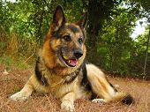 foto of shepherdess  - German sheperd portrait in the garden - JPG