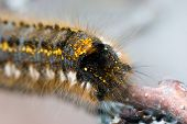 image of cocoon tree  - Caterpillar on a branch in the summer  - JPG