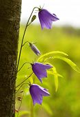 Campanula bell-fower under tree