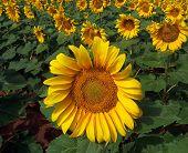 Sunflower Crop In West Texas
