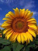 Sunflower Crop In West Texas poster