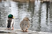 Male And Female Mallard Couple Overlooking Creek poster
