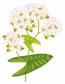 Flower Buckwheat. Vector Illustration On White Background.
