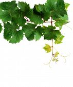 Fresh grapevine, isolated