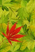 Background of fresh park trees with one red japanese maple
