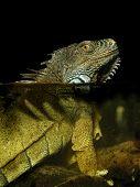 Green Iguana in water (Iguana iguana)