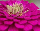 Close Up Of Pink Fuchsia Zinnia Flower