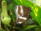 Brown & White Butterfly