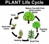 Vector - Plant Life Cycle (all stages: seed, seed with leave, seeding, small tree, growing tree, mat poster