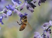 Honey Bee and Purple Flowers