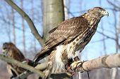foto of goshawk  - Birds of prey - JPG