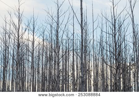 Burnt And Dead Trees On