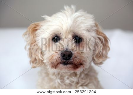 poster of small tan poodle dog. scruffy dog. small dog. lapdog