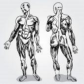 Sketch of Men's Anatomy