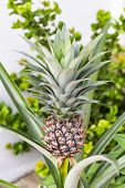 Pineapple ( Ananas Comosus ) On Its Parent Plant poster