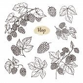 Hop Plant Branch With Leaves And Lump Of Hops In Engraving Style. Beer Pub Rural Vector Elements. Ve poster