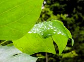 Raindrops Rest On Broad Leaf Of Plant In The Woods. poster
