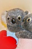 Koala Bear Love