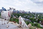 Targeted Grazing Using Goats For Control Weeds In Calgary poster