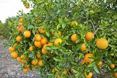 picture of valencia-orange  - Orange trees with fruit in Valencia - JPG