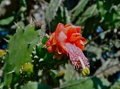 picture of nopal  - Cactus or Nopal blooming - JPG