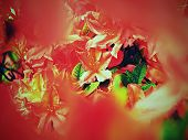 Red Flowers Blooming In The Garden In Spring. Blooming Red Purple Azalea Flowers In Garden. Orange R poster