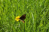 Giant Peacock Moth Or Saturnia Pavoniella On A Dandelion Or Tarataxum Officinale In  Meadow Wild Yel poster