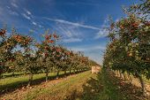 Apple Trees In An Orchard With Ripe Apples Ready For Harvest poster
