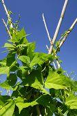 Green beans plants